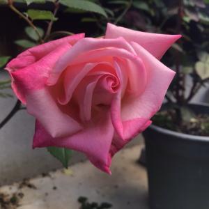 キレイに咲いた1輪のバラ達と4曲目で眠る音楽