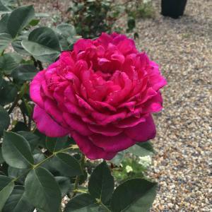 木立の鉢バラは花より樹形を気にしてしまう