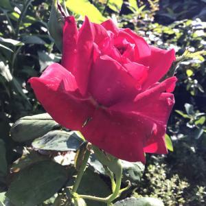 パウルクレーとローズオオサカの2番花