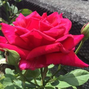 赤バラ白バラそして音楽