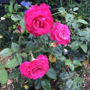 3年育てて清楚さが抜けてしまったバラと今咲いているペチュニア達