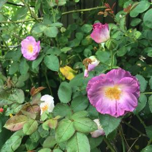 デスデモーナの2番花とこぼれ種からのペチュニア