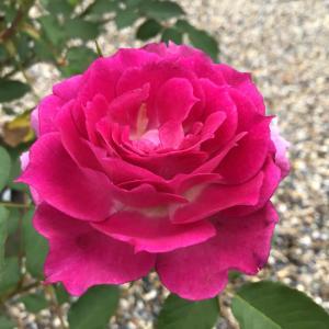 シェエラザードの1番花と2番花