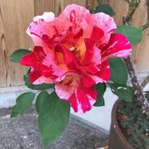 綺麗に咲いていたバラと夏の虚しさ