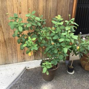 種まきに使う鉢替わりのものと夏剪定しなかったバラ