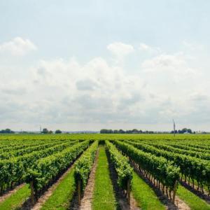 保護中: パリで大流行の【自然派ワイン】って何?他のワインと何が違うの!?