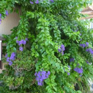 「デュランタ・タカラヅカ」きれいに咲いた。お家で水遊び。