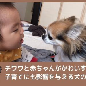 チワワと赤ちゃんがかわいすぎ!子育てにも影響を与える犬の存在