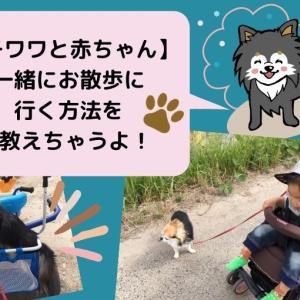【チワワと赤ちゃん】一緒にお散歩に行く方法