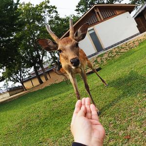 奈良の小学生は一度は鹿に乗るって本当ですか?