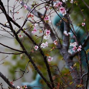 秋桜狂い咲き