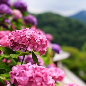 お金がないから紫陽花を食べる