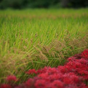 奈良の彼岸花は今週で終わりかも