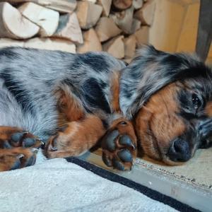 【ペットショップのないオーストリア】犬が欲しいんです