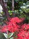 庭に咲く彼岸花