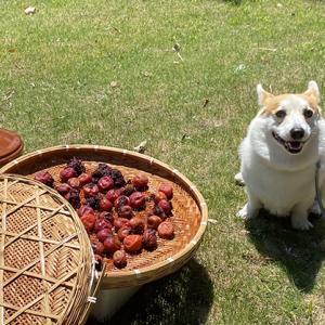 梅を干しました♪