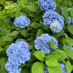 日記5 余呉の紫陽花