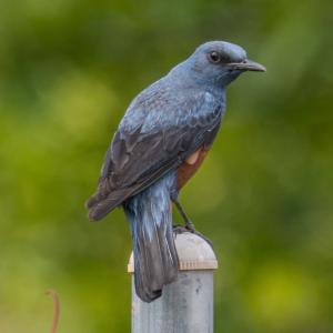 幸せの青い鳥のイソヒヨドリ