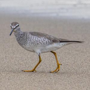 砂浜で採餌中のキアシシギ