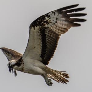 ミサゴの飛翔(1)