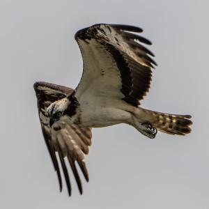ミサゴの飛翔(2)