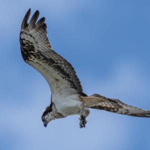 ミサゴの飛翔(4)