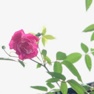 薔薇が一輪咲きました