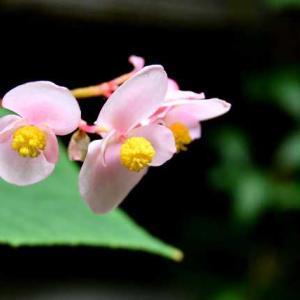 庭にピンク