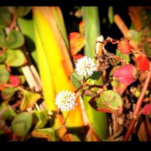 クローバーの花、可愛いね♡