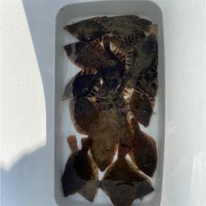 みんなの北海道釣り情報【石狩東埠頭】カレイが1,2,3... クーラー一面に広がるカレイで超満足!