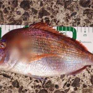 みんなの北海道釣り情報【函館湾】函館でタイがショアから上がった?!使用エサや他の釣果も聞いてみた!
