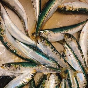 みんなの北海道釣り情報【苫小牧港】苫小牧でマイワシ豊漁中!入れ食い状態で1時間で釣れた匹数は?