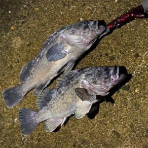 みんなの北海道釣り情報【登別市付近】ガヤがうるさい!根にかかったような重さを感じさせる強者はやはりこの魚!
