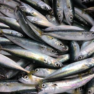 みんなの北海道釣り情報【島牧村栄浜漁港】合計100匹程度!?サバとイワシのサビキフィーバー!
