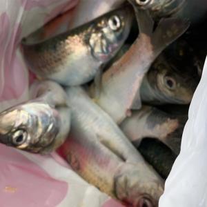 みんなの北海道釣り情報【石狩市東防波堤】ニシンとカレイが大漁だ!その数〇〇匹・・・
