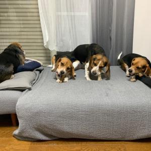 闘う犬たち!