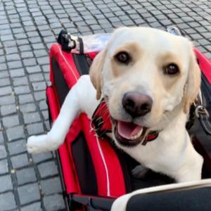 【大型犬におすすめ】おしゃれなペットカート『エアバギー CARRIAGE』をレビュー!