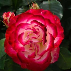 薔薇園を写し撮る②
