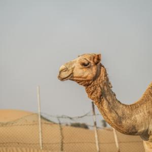 魂(たま)散歩3歩目。人間に運命を翻弄された駱駝(ラクダ)