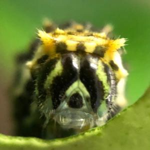 アゲハ飼育日誌2034 拒絶反応 透けるメロン顔 謎の幼虫