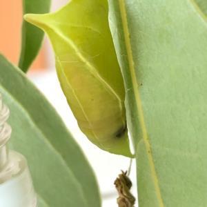 アゲハチョウ 寄生されたら羽化しないとは限らない【閲覧注意】