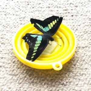 アゲハ飼育日誌2036 室内蝶 蛹の色の謎 穴場発見