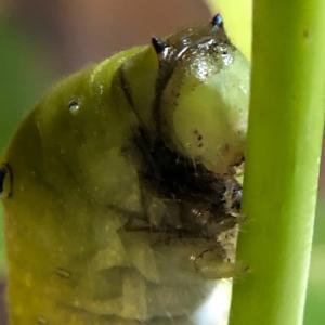 【検証】アゲハチョウの幼虫や蛹が黒くなる3つの理由