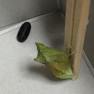 アゲハ飼育日誌2045 蛹の叫び 大きな卵 アカボシゴマダラ