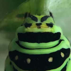 アゲハ飼育日誌2046 幼虫の損傷は? 雄雌羽化 キアゲハ