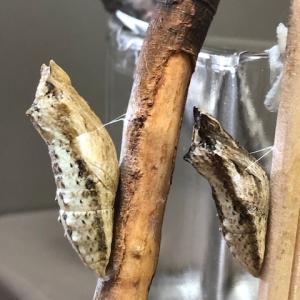 アゲハ飼育日誌2047 キアゲハ蛹化 小さな蛹 謎の卵