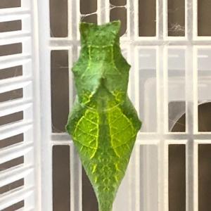 アゲハ飼育日誌2051 越冬蛹の見分け方 保護蝶 8匹孵化