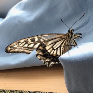アゲハ飼育日誌2052 短日処理の不安と疑問 栗虫 連日産卵