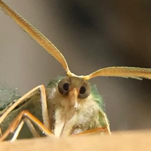 アゲハ飼育日誌2056 片翅蝶没 寄生ではない 発育鈍化
