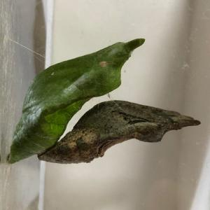 アゲハ飼育日誌2057 越冬蛹の色 体液の循環 蛹on蛹